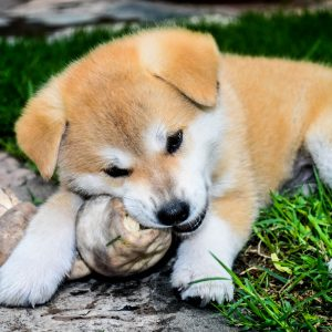 Pup/Junior